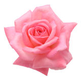 Pink rose. Isolated on white backgroud Stock Photos