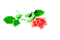 Pink rose isolated on white background Stock Images