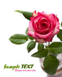 pink rose isolated on white background Royalty Free Stock Photo