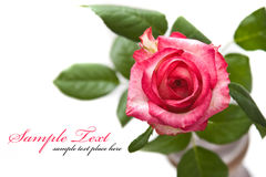 pink rose isolated on white background Stock Photography