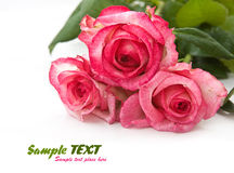 pink rose isolated on white background Royalty Free Stock Photos