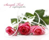 Pink rose isolated on white background Stock Photo