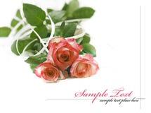 Pink  rose isolated on white background Stock Image