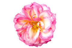 The pink rose Royalty Free Stock Photography