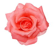 Pink rose isolated on white Royalty Free Stock Image