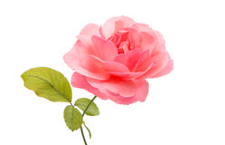 pink rose isolated Royalty Free Stock Image