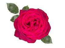 Pink rose with leaves,isolated on white background. Pink rose ,isolated on white background Stock Photography