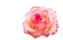 Pink rose isolated Stock Photography