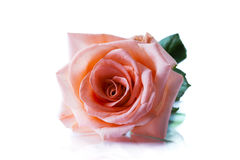 Pink rose isolated Stock Images