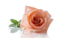 Pink rose isolated. On white background and reflection Royalty Free Stock Photography