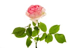 Pink rose isolated on white Royalty Free Stock Images