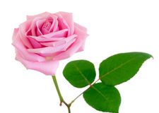 Pink rose. Stock Photo