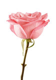 Pink rose isolated on white background. Isolated soft pink rose in side view stock photos