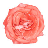 Pink rose isolated Royalty Free Stock Photography