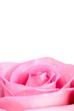 Pink rose isolated on white Stock Image