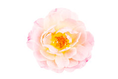 Pink rose isolated on white Royalty Free Stock Photography
