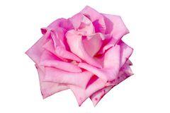 Pink rose isolated on white stock photography