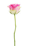Pink rose isolated on white. Stock Image