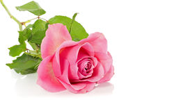 Pink rose isolated on wite Royalty Free Stock Photos