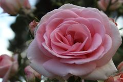 The pink rose with its petals completely unfolded stock photo