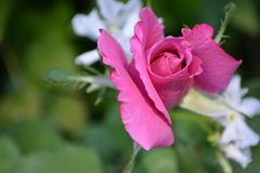 PINK ROSE & JASMINE. PINK ROSE WITH WHITE JASMINE FLOWER Royalty Free Stock Image