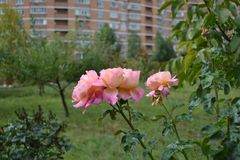 Pink rose, the last flowers of autumn royalty free stock photography