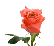 Pink rose with leaf Stock Image