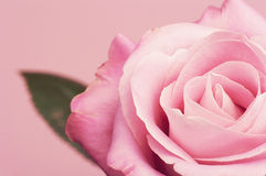 Pink rose with a leaf. Royalty Free Stock Photo