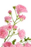 Pink rose with leaves. Stock Photos