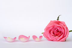 Pink rose leaves with empty room copy space. Detail of Romantic empty grey white serene background with four pink rose leaves with empty room copy space Royalty Free Stock Photography