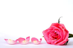 Pink rose leaves with empty room copy space. Detail of Romantic empty grey white serene background with four pink rose leaves with empty room copy space Royalty Free Stock Images