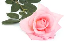 Pink rose with leaves isolated on a white Stock Image