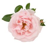 Pink rose and leaves isolated on white Royalty Free Stock Images