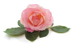 Pink rose and leaves. Stock Photo