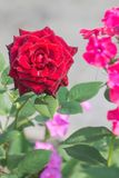 Pink rose on a light background royalty free stock photo
