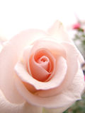Pink rose. Pink  , rose ,light , beauty ,soft,love , nature, pink shade, flower, smoot Stock Image