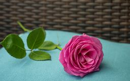 Pink rose on light blue underground pastell. With gread bokeh stock photography