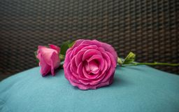 Pink rose on light blue underground pastell. With gread bokeh stock photos