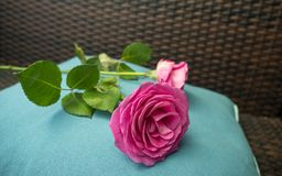 Pink rose on light blue underground pastell. With gread bokeh royalty free stock image
