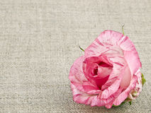 Pink rose on linen background Stock Images