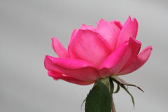 Pink rose. Lonely in the filed Stock Image