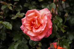 Pink rose. A lonely pink rose at New Zealand Stock Photo