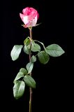 Pink rose with long stem Stock Photo