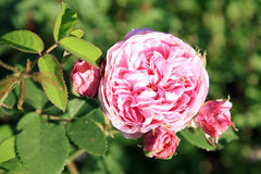 Pink rose Louise Odier. Stock Image
