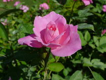 Pink rose  / Lovely pink Stock Image