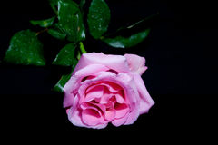 Pink rose lying on black Royalty Free Stock Image