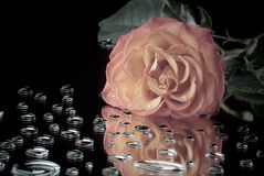 Pink Rose lying on the mirror surface with drops Royalty Free Stock Photography