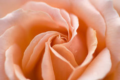 Pink rose macro. Macro picture of a fresh perfectly formed pink rose stock images