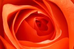 Pink rose macro Royalty Free Stock Photo