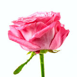 Pink rose macro Royalty Free Stock Images